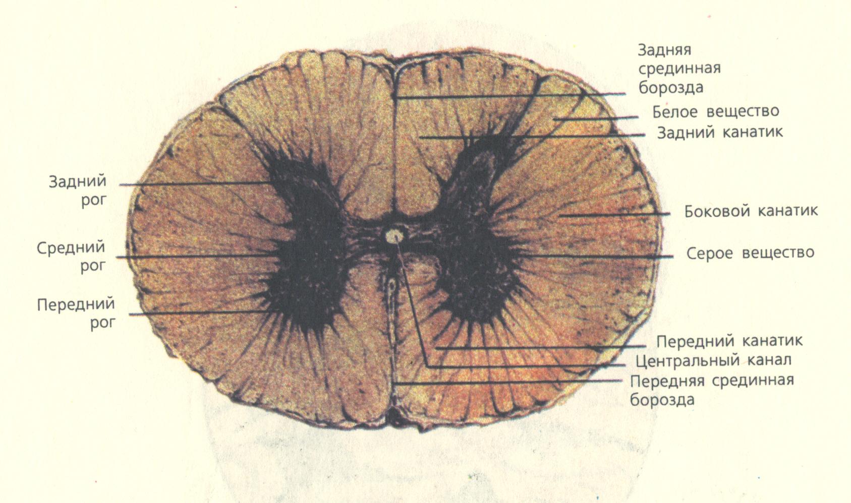 Схема серого вещества спинного мозга